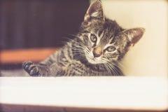 Gray Tabby Kitten Looking Into Distance adorable Imagen de archivo libre de regalías
