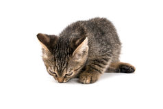 Gray tabby kitten looking down on white background Stock Photos