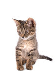 Gray tabby kitten looking down on white background Royalty Free Stock Photos