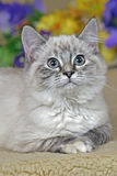 Gray tabby Kitten paying attention Royalty Free Stock Photo