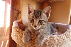Gray tabby kitten Royalty Free Stock Photos