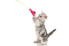 A gray  tabby kitten playing with a toy Royalty Free Stock Image