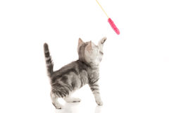 A gray  tabby kitten playing with a toy Royalty Free Stock Images