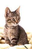 Gray tabby kitten on a soft yellow blanket Stock Images