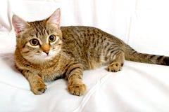Gray tabby kitten. Royalty Free Stock Photos