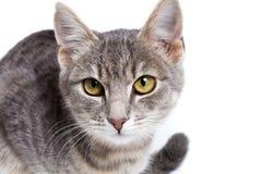 Gray tabby kitten on white. Gray tabby kitten -  on white background Stock Images