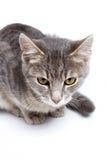 Gray tabby kitten on white. Gray tabby kitten -  on white background Royalty Free Stock Images