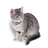 Gray tabby kitten on white. Gray tabby kitten -  on white background Royalty Free Stock Photos