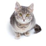 Gray tabby kitten on white. Gray tabby kitten -  on white background Stock Photos