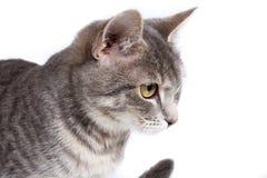 Gray tabby kitten on white. Gray tabby kitten -  on white background Royalty Free Stock Image