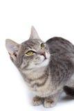 Gray tabby kitten on white. Gray tabby kitten - isolated on white background Stock Image