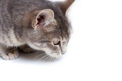 Gray tabby kitten on white. Gray tabby kitten - isolated on white background Royalty Free Stock Images