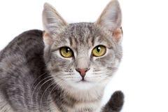 Gray tabby kitten on white. Gray tabby kitten - isolated on white background Stock Images