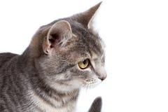 Gray tabby kitten on white. Gray tabby kitten - isolated on white background Stock Photo