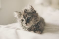 Gray Tabby Kitten on White Textile Stock Photography