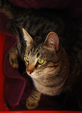 Gray Tabby Looking Away From Camera Stockfotos