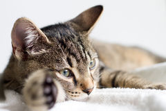 Gray tabby young cat resting on white towel. Closeup Royalty Free Stock Photo