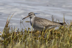Gray-tailed tattler which stands on the banks of the river Royalty Free Stock Photos