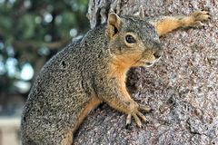 Close-up of a gray and tan squirrel clings to the trunk of a tree royalty free stock photo