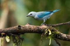 Gray Tanager azul foto de archivo