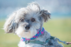 Gray terier portret. Gray terier on leash with green background Stock Photos