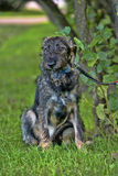 Gray terrier crossbreed Royalty Free Stock Image