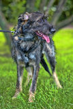 Gray terrier crossbreed Stock Image