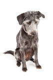 Gray Terrier Dog Looking Down Royalty Free Stock Images