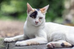 Gray Thai cat stock photo