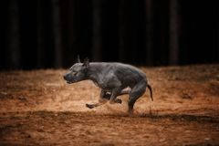 Gray Thai Ridgeback que apressa-se na velocidade da luz através da floresta fotos de stock