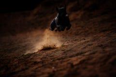 Gray Thai Ridgeback som rusar längs skogbanor arkivfoto