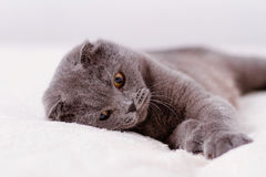 Scottish lop-eared cat Royalty Free Stock Image
