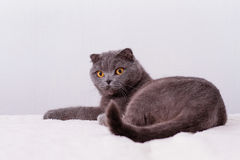 Scottish lop-eared cat Royalty Free Stock Photos