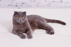 Scottish lop-eared cat Royalty Free Stock Photography