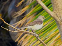 Gray Thrasher bird clinging to a twig. Close-up shot of a gray Thrasher clutching the twig of a tree with its claws, with some green palms in the background Stock Image