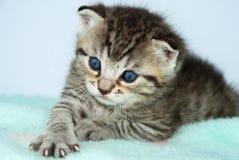 Gray tiger kitten Stock Images