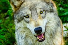 Gray Timber Western Wolf photo stock