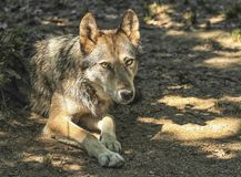 Gray, timber or western wolf, canis lupus Stock Images