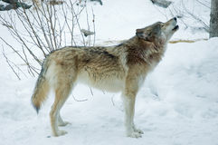 Gray or Timber Wolf Howls. Gray or Timber Wolf Howling in the Winter Snow Stock Photo