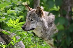 Gray Wolf Close Up Head Shot Looking Left. stock photography