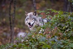 Gray Wolf Standing Behind A Green Leafed Shrub. A Gray or Timber Wolf is is standing is standing behind a leaf covered shrub. Some of the leaves are turning red stock photos