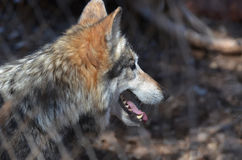 Gray Timber Wolf In vibrant le sauvage photos stock