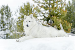 Gray timber wolf in winter forest Stock Photography