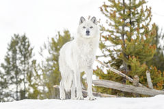 Gray timber wolf in winter forest Royalty Free Stock Images