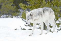 Gray timber wolf in winter forest Royalty Free Stock Photos