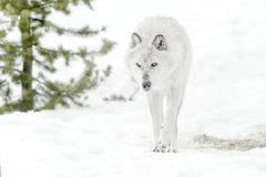 Gray timber wolf in winter forest Royalty Free Stock Image