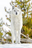Gray timber wolf in winter forest Stock Photo