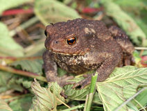 Gray toad (Bufo bufo) Royalty Free Stock Photo