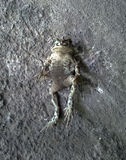 Gray Toad común imágenes de archivo libres de regalías