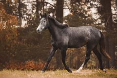 Free Gray Trakehner Mare Horse Trotting On Green Meadow On Forest Background In Autumn Stock Image - 160724701